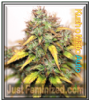 Auto Kush-O-Matic Female Mix & Match Seeds